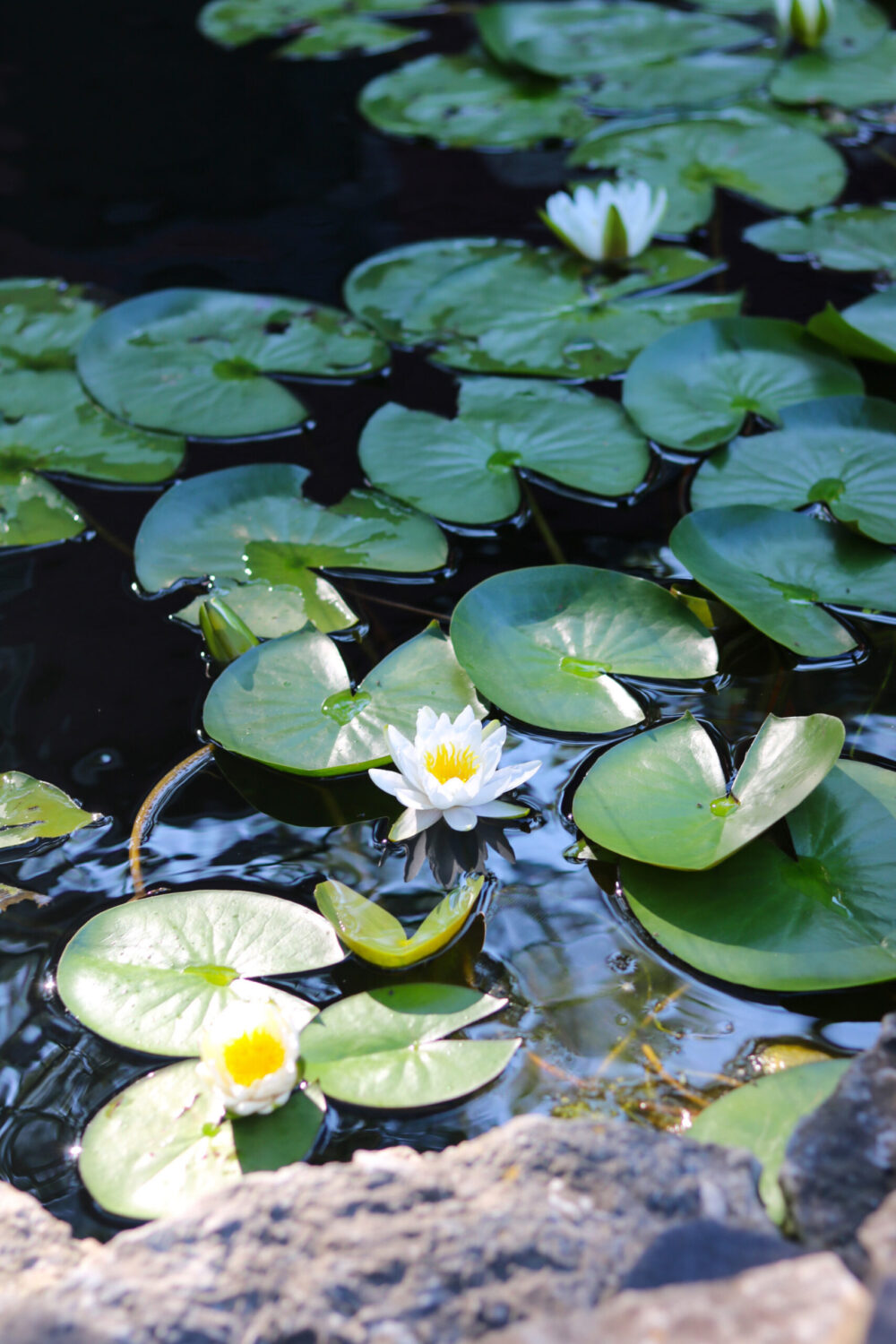 2020 Year in Review I Water Lily